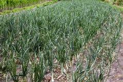Campo del raccolto della cipolla Fotografie Stock