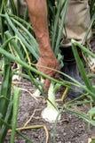Campo del raccolto della cipolla Fotografia Stock