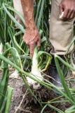 Campo del raccolto della cipolla Immagini Stock Libere da Diritti