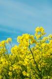 Campo del raccolto della violenza in fiore Fotografia Stock