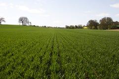 Campo del raccolto verde Immagini Stock