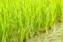 Campo del riso o della risaia Fotografia Stock