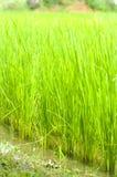 Campo del riso o della risaia Fotografia Stock Libera da Diritti