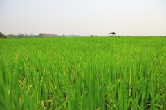 Campo del riso o della risaia con il cottage Immagine Stock Libera da Diritti
