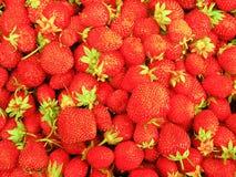 Campo del rojo de la fresa Foto de archivo