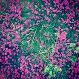 campo del rosa Fotos de archivo