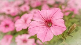 Campo del rosa in un giardino floreale Immagini Stock