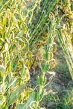 Campo del sésamo con las vainas y las semillas del sésamo en Xigang, Tainan, Taiwán, cierre para arriba, macro, bokeh foto de archivo