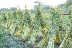 Campo del sésamo con las vainas y las semillas del sésamo en Xigang, Tainan, Taiwán, cierre para arriba, macro, bokeh foto de archivo libre de regalías