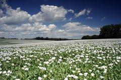 Campo del seme di papavero Fotografie Stock