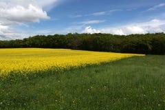 Campo del seme di ravizzone Fotografia Stock