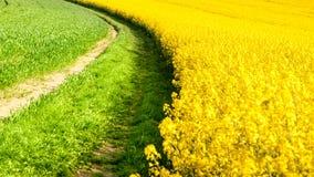 Campo del seme di ravizzone, aka del canola o della colza Paesaggio rurale con la strada campestre Primavera e tema verde di ener Fotografie Stock Libere da Diritti