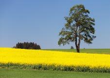 Campo del seme di ravizzone, canola o colza ed albero Immagine Stock Libera da Diritti