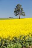 Campo del seme di ravizzone, canola o colza ed albero Fotografia Stock Libera da Diritti