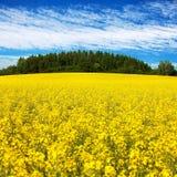 Campo del seme di ravizzone, del canola o della colza Immagini Stock Libere da Diritti