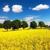 Campo del seme di ravizzone, del canola o della colza Immagini Stock