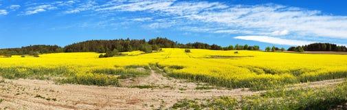Campo del seme di ravizzone, del canola o della colza Fotografia Stock