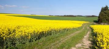 Campo del seme di ravizzone, del canola o della colza Fotografie Stock