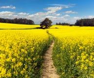 Campo del seme di ravizzone, del canola o della colza con il modo del percorso Immagine Stock Libera da Diritti