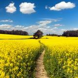 Campo del seme di ravizzone, del canola o della colza con il modo del percorso Fotografia Stock