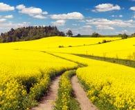 Campo del seme di ravizzone, del canola o della colza con la strada rurale Fotografia Stock Libera da Diritti