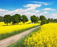 Campo del seme di ravizzone, del canola o della colza con la strada rurale Fotografie Stock Libere da Diritti