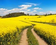 Campo del seme di ravizzone, del canola o della colza con la strada rurale Fotografia Stock