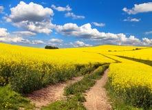 Campo del seme di ravizzone, del canola o della colza con la strada rurale immagine stock