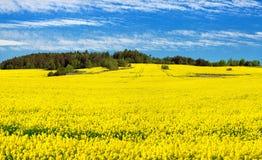 Campo del seme di ravizzone, del canola o della colza Fotografia Stock Libera da Diritti
