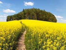 Campo del seme di ravizzone, del canola o della colza Immagine Stock
