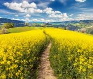 Campo del seme di ravizzone, del canola o della colza, brassica napus Immagini Stock