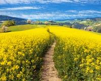 Campo del seme di ravizzone, del canola o della colza, brassica napus Immagine Stock