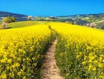Campo del seme di ravizzone, del canola o della colza con il modo del percorso Fotografie Stock