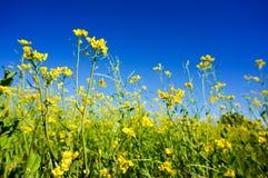 Campo del seme di ravizzone di estate Immagini Stock Libere da Diritti
