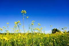 Campo del seme di ravizzone di estate Immagine Stock