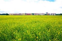 Campo del seme di ravizzone di estate Fotografia Stock
