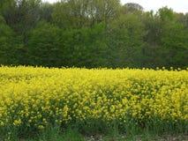 Campo del seme di ravizzone in Francia Fotografia Stock