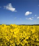 Campo del seme di ravizzone giallo Fotografia Stock Libera da Diritti