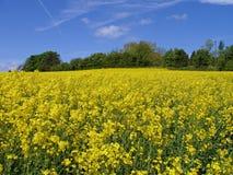 Campo del seme di ravizzone, Inghilterra Fotografie Stock Libere da Diritti