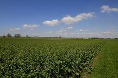 Campo del seme oleifero Fotografie Stock