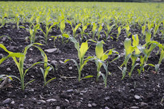 Campo del semenzale del cereale in primavera Immagini Stock Libere da Diritti