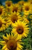 Campo del sol Imagen de archivo libre de regalías