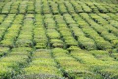 Campo del tè Immagine Stock