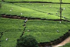 Campo del tè fotografia stock