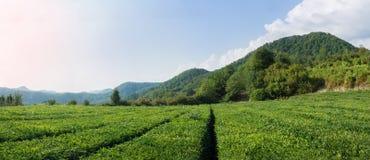 Campo del tè Immagini Stock