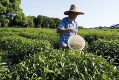Campo del tè di Longjing a Hangzhou Immagine Stock Libera da Diritti