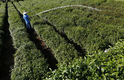 Campo del tè di Longjing a Hangzhou Fotografia Stock