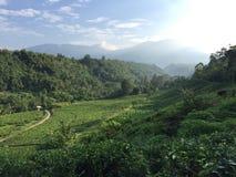 Campo del tè di Selabintana fotografie stock