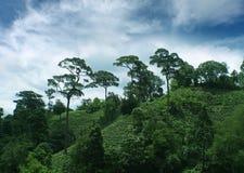 Campo del tè sulla montagna in Tailandia Immagini Stock