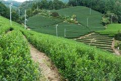 Campo del tè verde Fotografia Stock